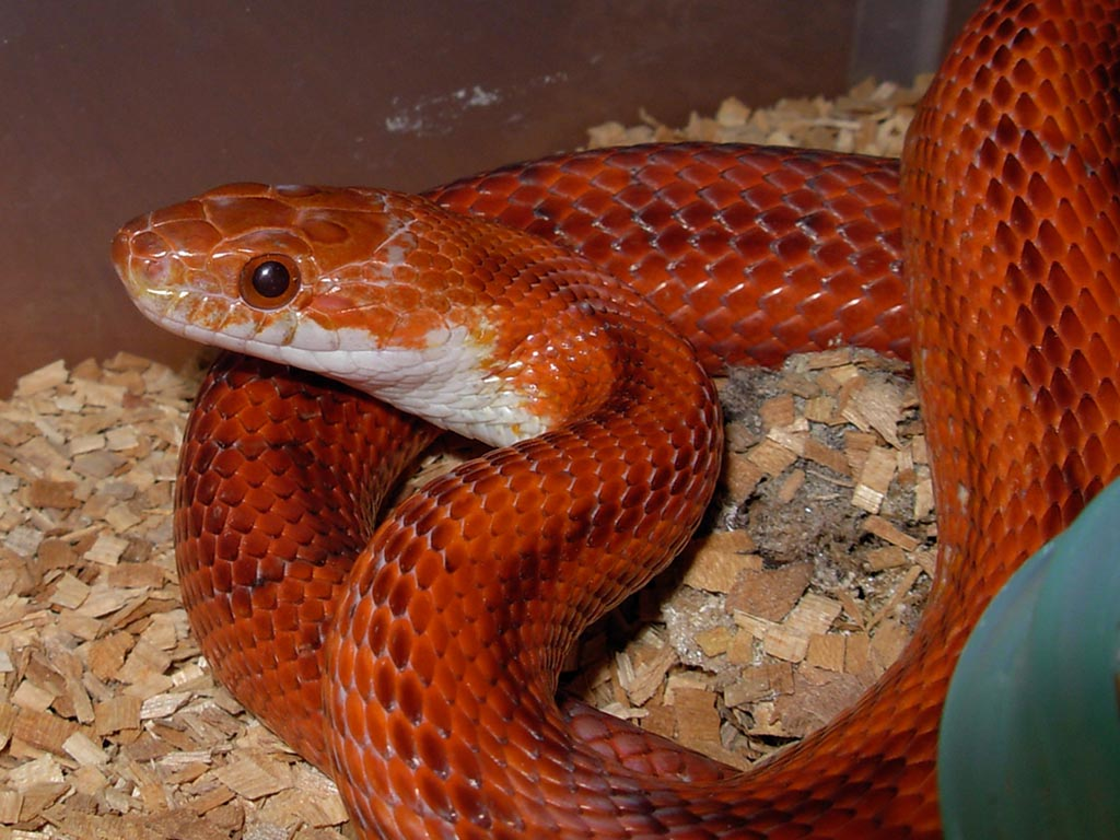 Ultramel Corn Snake