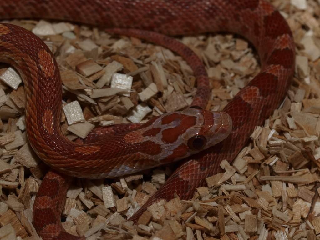 lava corn snake - photo #16