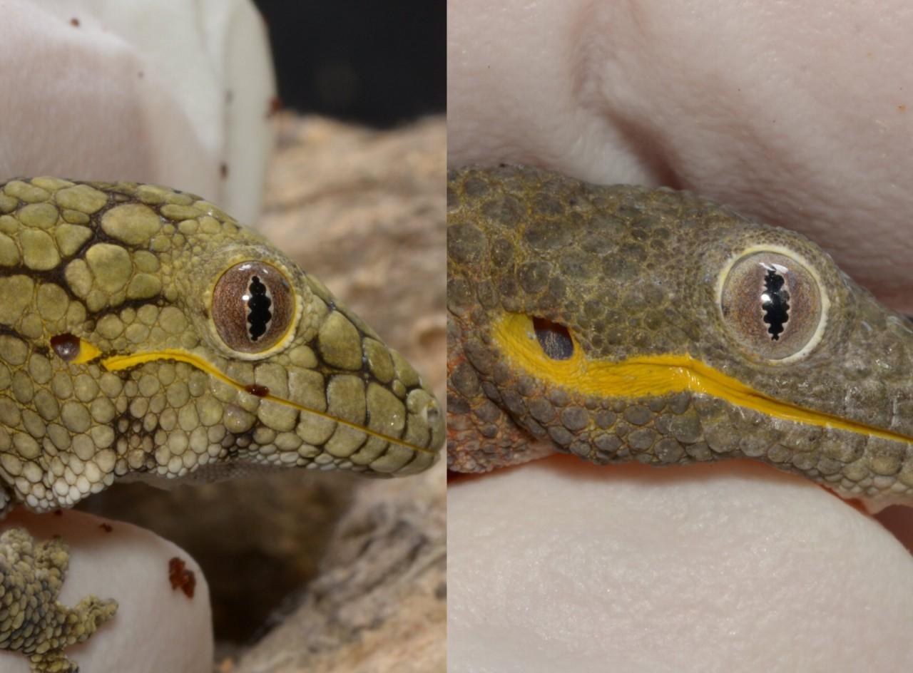 left:Eurydactylodes vieillardi ,right:Eurydactylodes agricolae  下顎の皮をちょっとひっぱると分かりやすい。ただし幼体は力加減が難しいから、あまりやりたくないな………