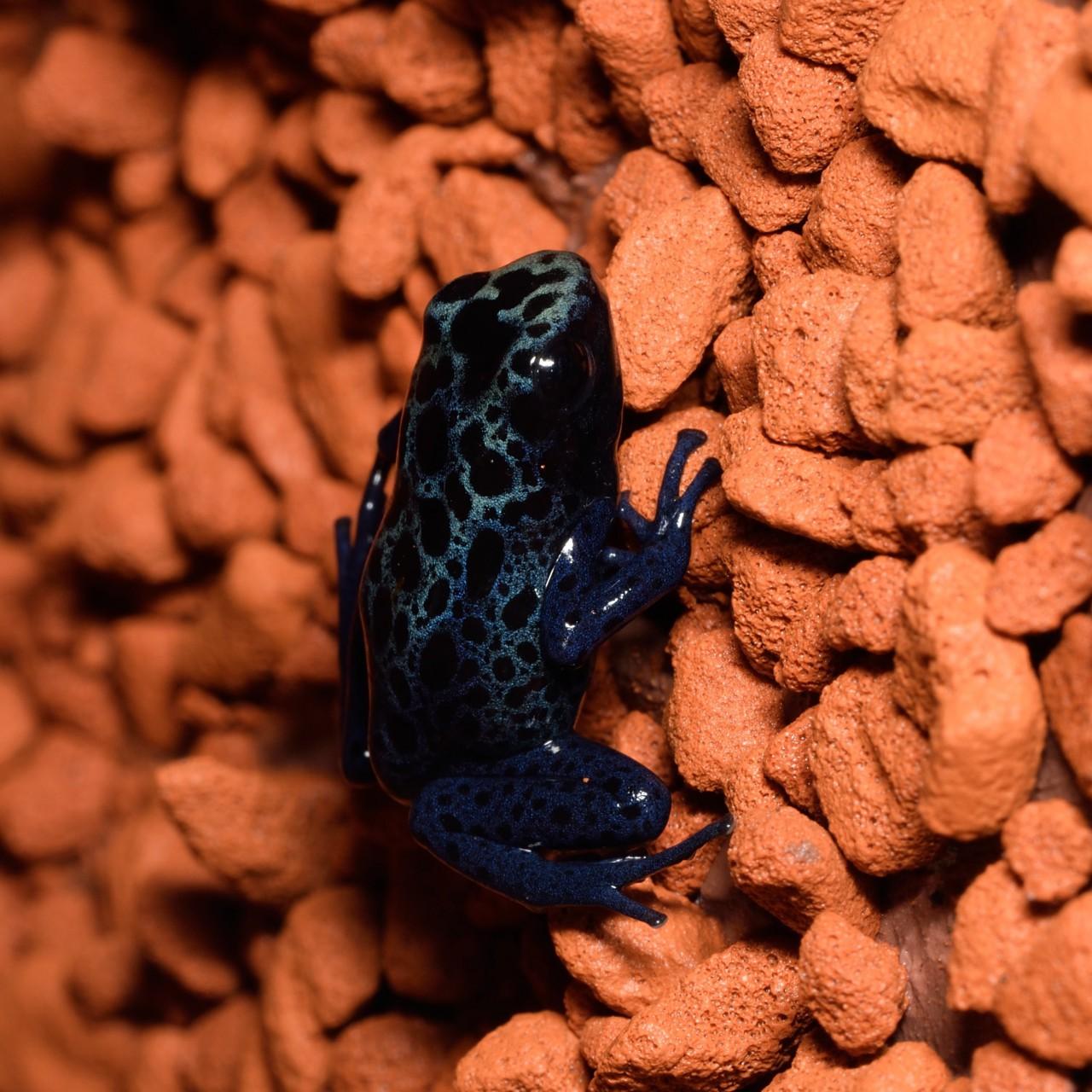 """Dendrobates tinctorius  """"azureus"""" (2014.07)"""