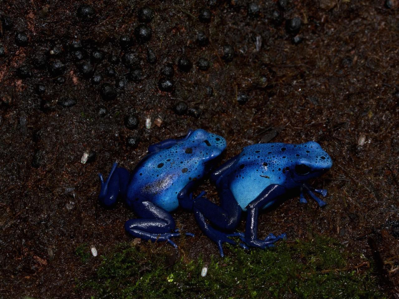 "Dendrobates tinctorius  ""azureus - Select"" (2015.04)"