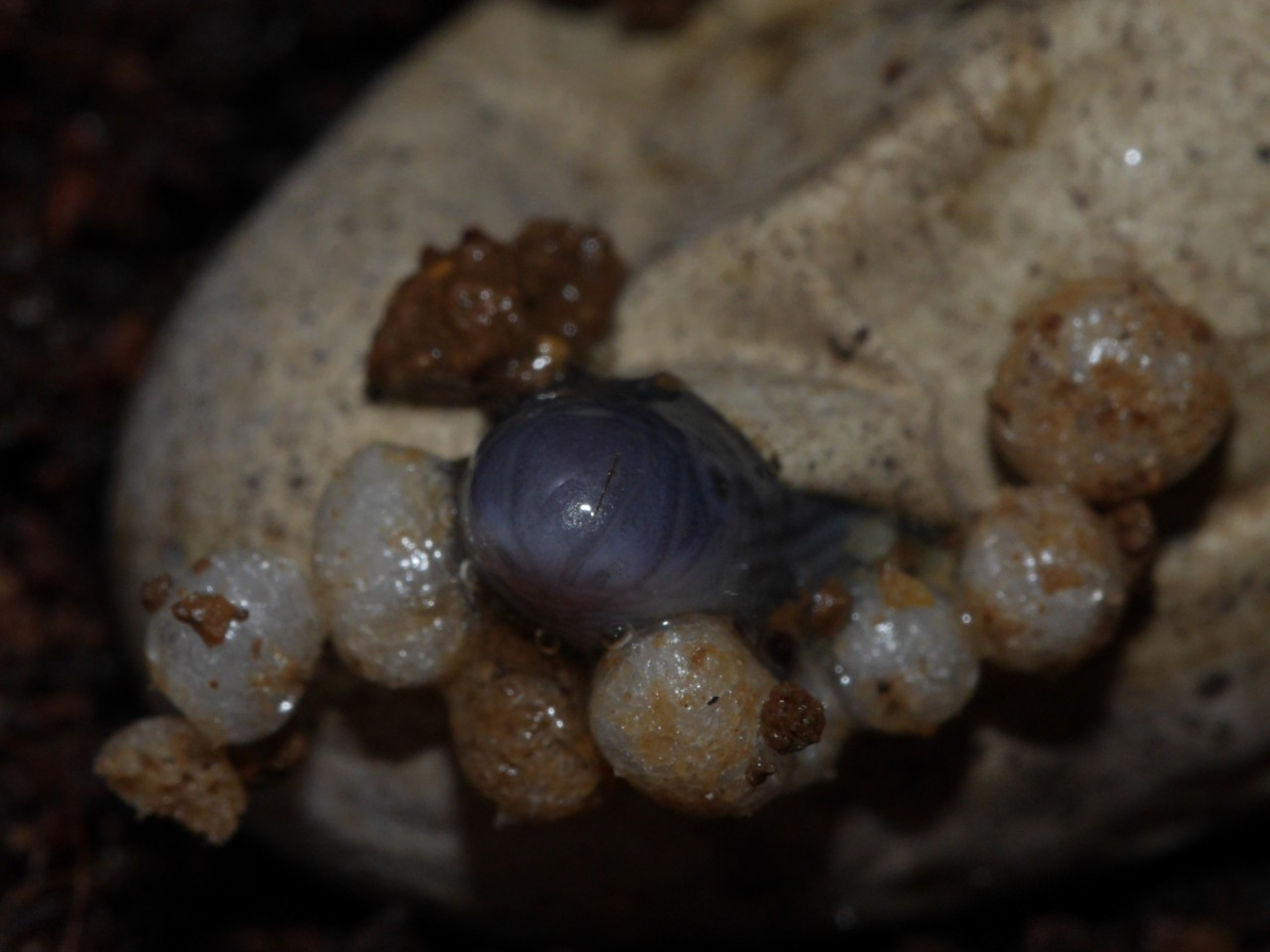 typhlops_sp_hatch_out04